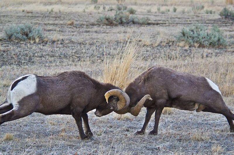 Dos carneros topándose.