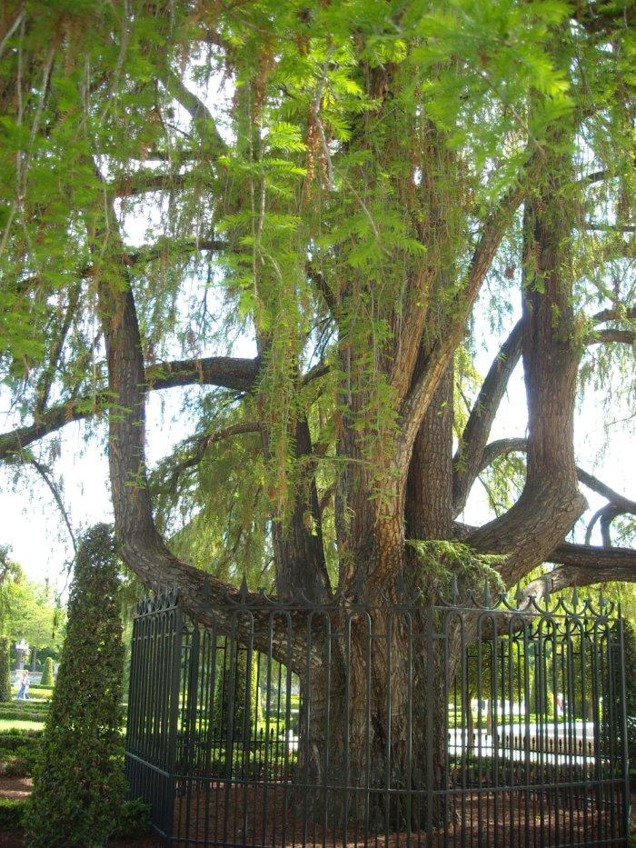 ahuehuete: árbol de la familia de las cupresáceas, originario de la América del Norte, especialmente México, noreste de Guatemala y sur de Texas, de madera semejante a la del ciprés. Por su elegancia se cultiva en los jardines de Europa. Su nombre científico es Taxodium mucronatum.