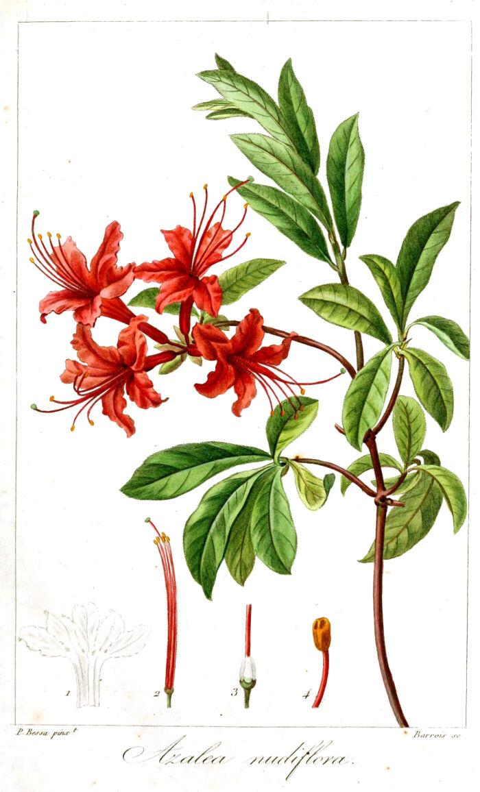 Azalea nudiflora