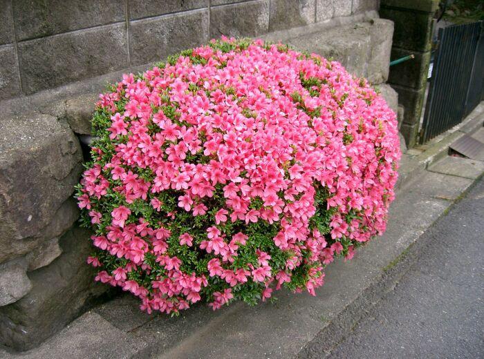 Rhododendron indicum