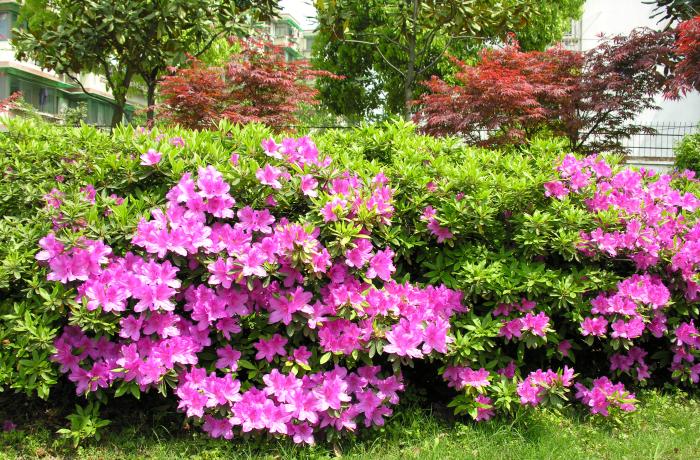 Rhododendron nudiflorum