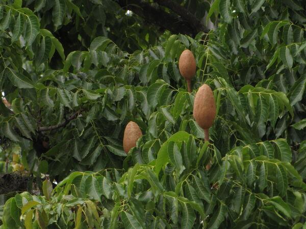 Árbol cedro caoba (Swietenia macrophylla)