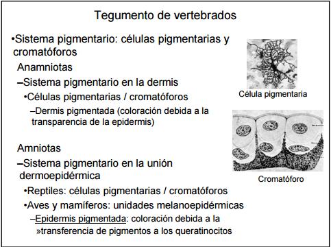 Célula que tiene glándulas de pigmento. También es llamada célula melanóforo.