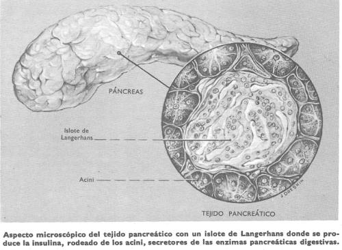 Diabetes: aspecto microscópico del tejido pancreático con un islo de Langerhans donde se produce la insulina, rodeado de los acini, secretores de las enzimas pancreáticas digestivas.