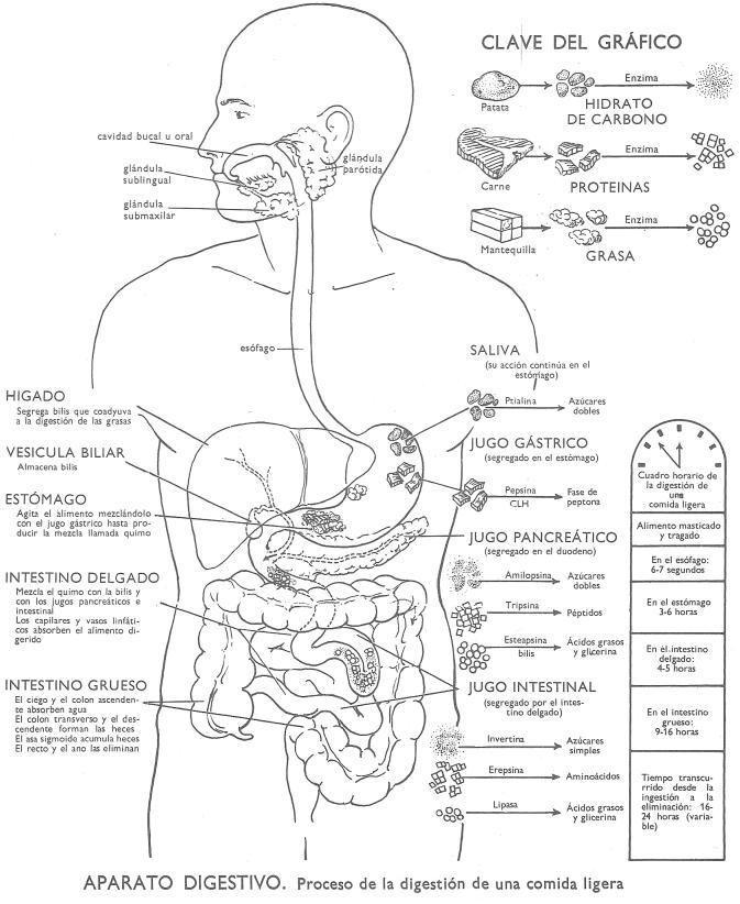 Digestión humana: proceso de digestión de una comida ligera
