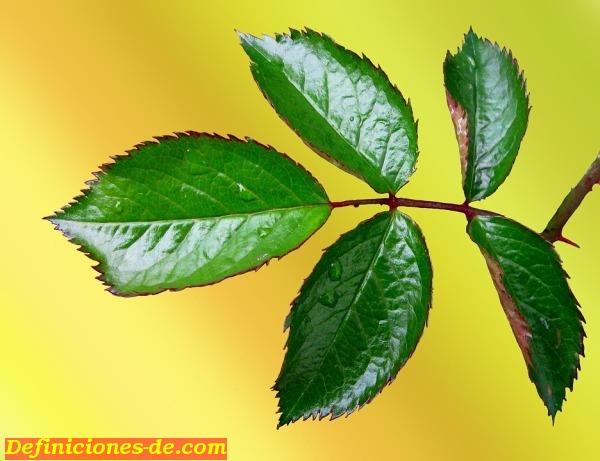 flor de jamaica cuidar de tus plantas es of significado de