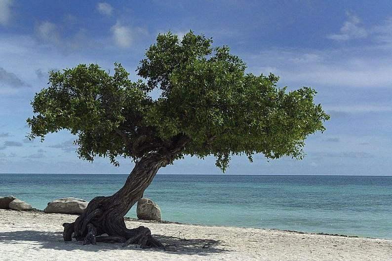 Nacascolo: Árbol de América Central y de Venezuela, que pertenece a la familia de las papilionáceas. Su fruto se emplea para curtir pieles por su alto contenido en tanino. También se emplea como astringente, tónico y febrífugo.