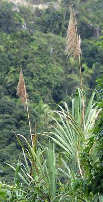 Zacuara o sacuara: Espiga o extremo de la caña brava cuando florece, que llega al metro de largo y es semejante al de la caña de azúcar. Se la emplea para hacer adornos.